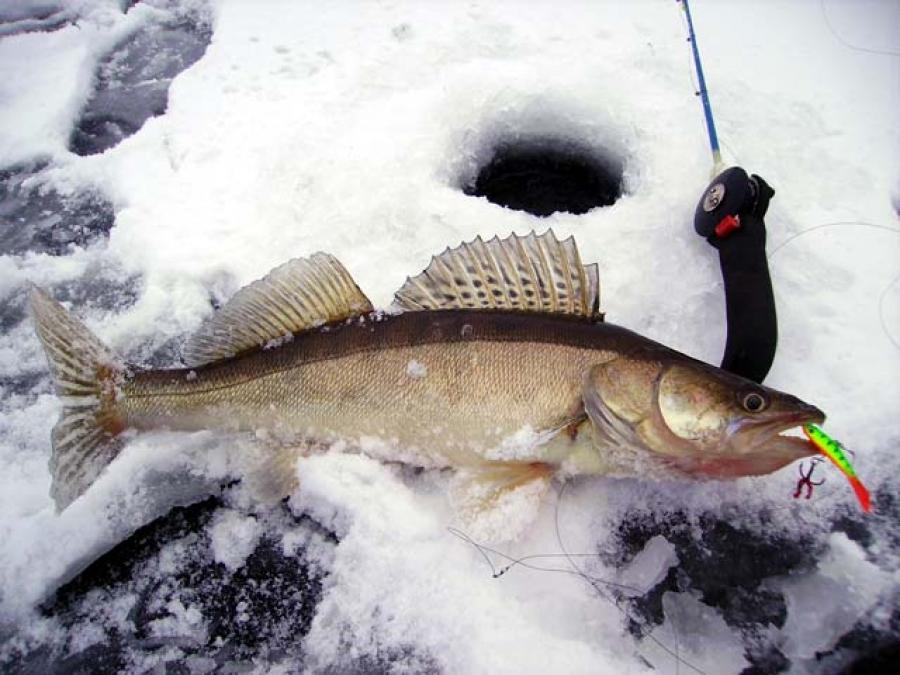 Ловля судака в марте со льда